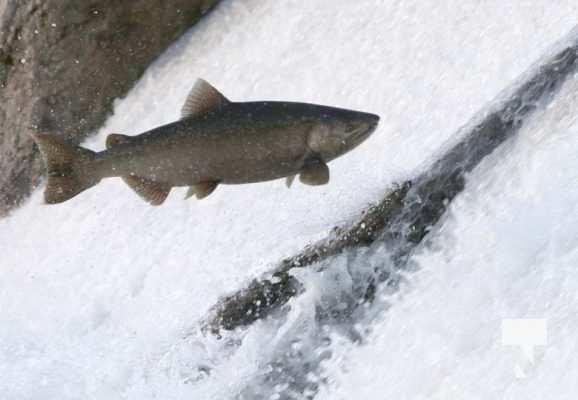 Salmon Ganaraska River Port Hope September 9, 20210569